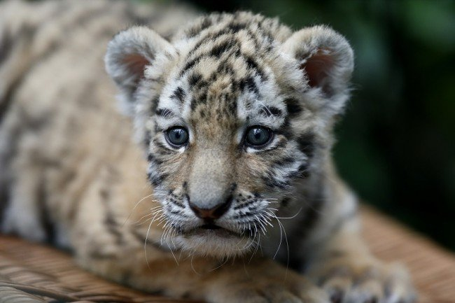 Вымирающие животные России: исчезающие виды, причины вымирания